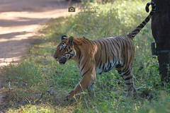 Tigress, Kanha Tiger Reserve (Chandrasekhar Bhattacharya) Tags: centralindia dhawajhandi mukki safari forest jungle wild madhyapradesh kanha royalbengaltiger tigress