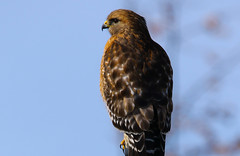 Red-shouldered Hawk (wvsawwhet) Tags: westvirginia wv westvirginiabirds hawk redshouldered bird birding birds birdwatching birdsofwestvirginia raptor marioncounty