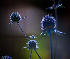 zolty kwiat-6136.jpg (miroslaw11) Tags: rośliny niebieski światło bokeh poświata lato polska