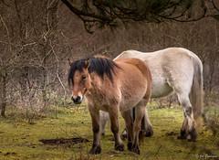 Chevaux du Mont Saint-Frieux (brayan26.friller) Tags: cheval chevaux horse horses equitation elevage equestre forest tree animal trees nature dannes hardelot france