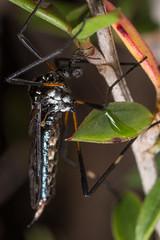 Limoniidae (zosterops) Tags: australia tasmania canoneos6d canonmacrolensmpe65 macro insecta diptera serpentinedam gynoplistia limoniidae