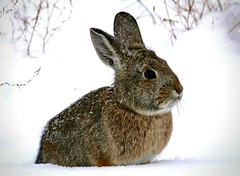 Baby, it's cold outside! (wjaachau) Tags: winter snow cold rabbit bunny nature weather snowman backyard hare snowstorm january blizzard snowday garden animal wildlife