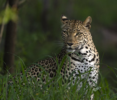 Female leopard (timopfahl) Tags: leopard female cat wildcat safari sabisands tydonbushcamp tydon bush camp kruger southafrica katze weibchen posing gras