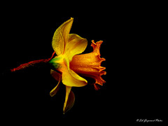 seb-7915 (Seb Guyomard Photos) Tags: flower flowers fleur fleurs jonquille nature sweet beauty beaute art ambiance france nikon sigma