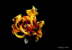 seb-9115 (Seb Guyomard Photos) Tags: flower flowers fleur tulipe tulip nature sweet beauty beaute art nikon sigma france