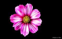 seb_7308 (Seb Guyomard Photos) Tags: flower fleur cosmos nature sweet beauty beaute france art nikon sigma
