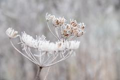 Winter jewels (nikjanssen) Tags: winter frost white bokeh flowers nature vintagelenses panagorpmcautomacro90mm28
