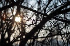 Y arriba quemando el sol (gripspix) Tags: 20200121 nex sony lenstest objektivtest makinon14580200mm f45 openaperture offenblendig tree baum branch ast sun sonne silhouette silhouettes