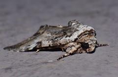 Scaly owlet moth Risoba sp Risobinae Nolidae Noctuoidea Mandalay rainforest Airlie Beach P1200834 (Steve & Alison1) Tags: scaly owlet moth risoba sp risobinae nolidae noctuoidea mandalay rainforest airlie beach