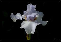 Estudio de una for. (antoniocamero21) Tags: estudio flor iris composición luces sombras color foto sony