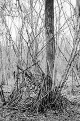 Cabane abandonnée (patoche21) Tags: france nature monochrome plante europe dxo paysage bourgogne arbre bois flore ambiance cotedor chevignystsauveur bourgognefranchecomte noiretblanc nb forêt cabane wood winter blackandwhite bw tree forest landscape burgundy patrickbouchenard