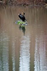 Cormorant hang out (JSB PHOTOGRAPHS) Tags: jsb0236 cormorant deltaponds eugeneoregon nikon d7100 pond water trees reflections reflection shadows log 200500mm nikon200500mmafsgf56evr