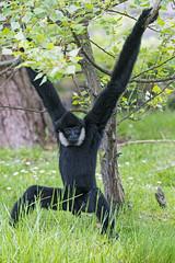 Gibbon hanging on a tree (Tambako the Jaguar) Tags: ape arms black branch d5 gibbon grass győr hanging hungary monkey nikon primate tree vegetation zoo