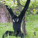 Gibbon hanging on a tree