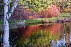 Héron au bord de l'étang du parc Balbi (Versailles) (Mireille L.) Tags: héron heron parc park versailles étang pond reflets reflections troncdarbre rouge red hiver winter