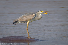 Mammal, bird and fish! (Duncan Blackburn) Tags: bird southafrica kruger greyheron nature nikon wildlife