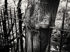 20190804-0100-Edit (www.cjo.info) Tags: edinburgh europe europeanunion mzuiko m43 m43mount microfourthirds olympus olympusmzuikodigital17mmf18 olympuspenf scotland unitedkingdom waterofleith waterofleithwalkway westerneurope zuiko bark blur bokeh digital flora focusblur iron ironwork metal park plant railings shallowdepthoffield shrub tree trunk wood woodland woods wroughtiron