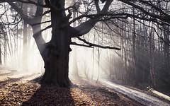 Ghost Beech (snomanda) Tags: tree autumn fog forest woodland nature mist misty foggy chost beech wood silhouette winter morning sunlight shadow crepuscular light rays daybreak sunrise buchan park countryside uk england backlight