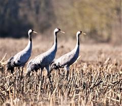 Grue cendrée (MalcedoP) Tags: oiseau migrateur nièvre