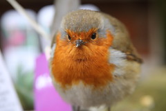 Friendly Robin at Ham House #2 (Don McDougall) Tags: donmcdougall don mcdougall winter ham hamhouse thames riverthames robin bird birds avian fauna