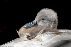 It's sooo comfy in here.... zzz (Linda Martin Photography) Tags: abbotsbury dorset cygnet muteswan cygnusolor swannery bird birds coth specanimal alittlebeauty coth5 fantasticnature