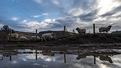 Sheep at Binn Green (Craig Hannah) Tags: greenfield saddleworth outdoors countryside pennine peakdistrictnationalpark peakdistrict oldham westriding yorkshire manchester greatermanchester craighannah january 2020 dovestones dovestonesreservoir chewvalley sheep binngreen reflections