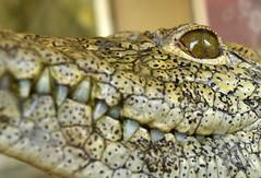 Caiman alligator smiling portrait (German Vogel) Tags: face teeth smile eye crocodile alligator caiman reptile closeup fauna asia travel tourism traveldestinations touristattractions eastasia china hefei anhuiprovince chinaeastasia nature animal anhui