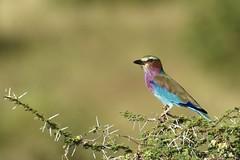 Rollier (http://phj.bookfoto.com/) Tags: oiseau rollier kenya samburu philippe jubeau bird couleur plume