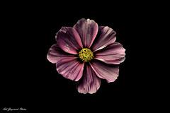 seb_7032 (Seb Guyomard Photos) Tags: flower fleur cosmos nature sweet beauty beaute art nikon sigma france