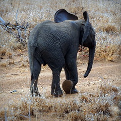 Baby Elephant (RJAB2012) Tags: elephant kruger southafrica africa cute loxodontaafricana