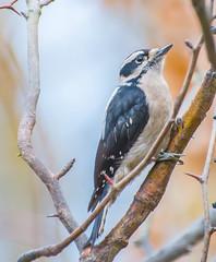 Downy Portrait. (Omygodtom) Tags: bird woodpecker downywoodpecker wildlife portrait branch outdoors oaksbottom nature bokeh dof d7100 nikon70300mmvrlens natural usgs