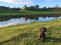 Get a move on (odell_rd) Tags: alnwickcastle northumberland cockerspaniel reflections