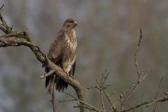 Common Buzzard, Bawdsy Suffolk. (Ed Thorn) Tags: buteo buzzard suffolk nature wildlife bird rapture nikon sigma