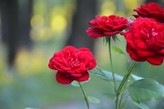 Солнечные зайчики (kupriyanova_marina) Tags: лес розы красный природа деревья солнце макрофото лето forest summer nature beauty red rose nikon light sun