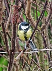 Great tit (Parus major) (ruedigerdr49) Tags: tit bird nature animal outdoor kohlmeise vogel ucello oiseau fantasticnature tamron18200 canoneosm50