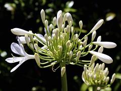 Agapantha Fireworks (Padmacara) Tags: flower agapantha white shadowlight d7100 tamron28300mm