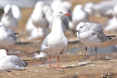Silver Gulls (Luke6876) Tags: silvergull gull bird animal wildlife australianwildlife nature