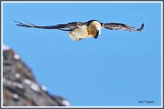 Gypaète 200122-02-RP (paul.vetter) Tags: oiseau faune avifaune valais animal gypaètebarbu vautour gypaetusbarbatus beardedvulture quebrantahuesos quebraossos bartgeier rapace