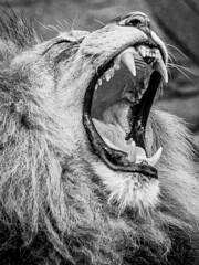 Jaws 2 (frank.shepherd) Tags: absoluteblackandwhite zoo animals bigcat lion