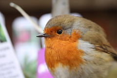 Friendly Robin at Ham House #1 (Don McDougall) Tags: donmcdougall don mcdougall winter ham hamhouse thames riverthames robin bird birds avian fauna