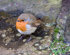 Friendly Robin at Ham House #4 (Don McDougall) Tags: donmcdougall don mcdougall winter ham hamhouse thames riverthames robin bird birds avian fauna