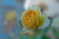 Rose jaune (Guy_D_2018) Tags: цветок lule blumen ծաղիկ кветка цвете 花 flower 꽃 cvijet blomst flor lill kukka blodyn ყვავილების λουλούδι virág bunga bláth blóm fiore zieds gėlė цвет voninkazo fjura फूल bloem ਫੁੱਲ gul گل kwiat floare kvetina cvet blomma květina ดอกไม้ çiçek квітка hoa בלום زهرة nikon d90 fleur
