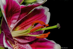 Lilies (akatsoulis) Tags: flowerpot flora d5300 nikon lilies flowers indoors plant present alexkatsoulis closeup macro