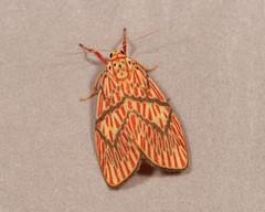 Footman Moth (Barsine delicia, Lithosiini, Arctiinae, Erebidae) (John Horstman (itchydogimages, SINOBUG)) Tags: insect macro china yunnan itchydogimages sinobug entomology canon moth lepidoptera lithosiini arctiinae arctiidae erebidae trap red