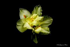 seb-9126 (Seb Guyomard Photos) Tags: flower fleur tulipe tulip ambiance nature sweet beauty beaute art nikon sigma france
