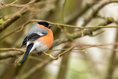 Bouvreuil pivoine - Eurasian Bullfinch (Serge Lemaire) Tags: bird birdwatching campagne hiver nature oiseau ornithologie ornithology passereaux wildlife