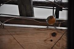 rouge-gorge (fidber) Tags: oiseau rougegorge