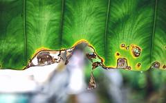 紋理 (M.K. Design) Tags: nature scenery leaf green yellow macro micro bokeh nikon z6 nikkor 35mmf18s primelens hdr taiwan 自然 微距 綠 葉脈 紋理 紋路 淺景深 散景 定焦鏡 大光圈 尼康 無反光鏡相機 無反 台灣