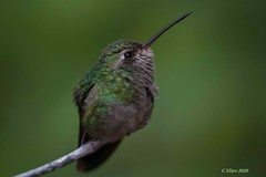 IMG_4423 hummer (starc283) Tags: hummingbird bird birding nature wildlife canon nectar starc283 people flicker flickr