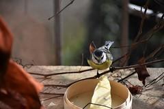 mésange (fidber) Tags: mésange oiseau